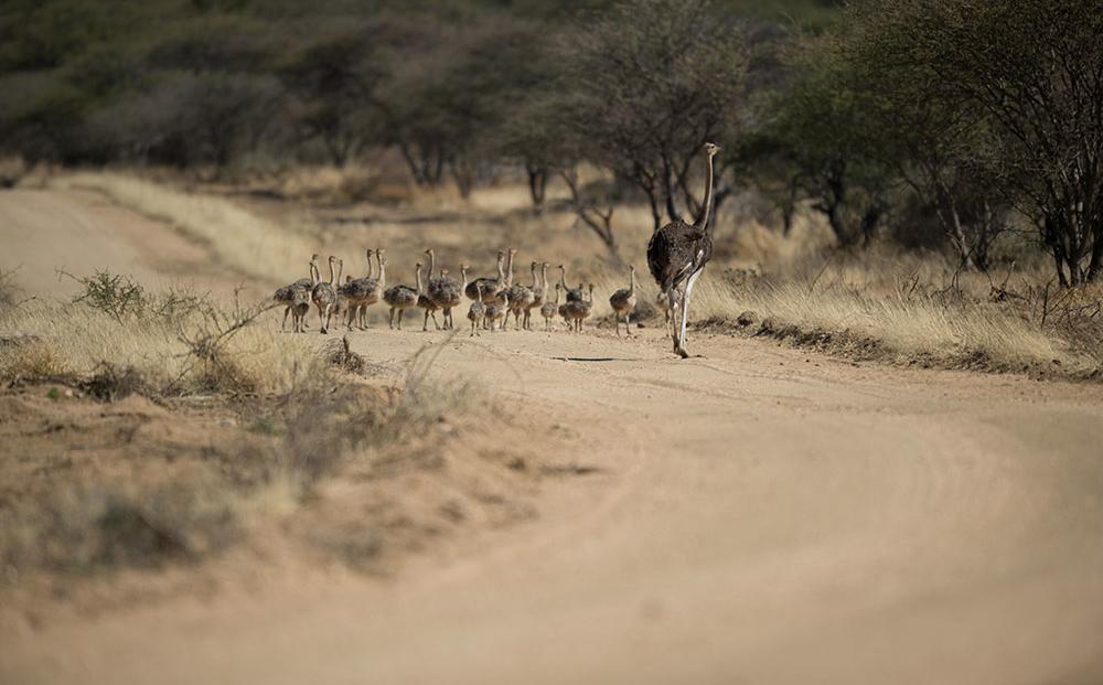 Erindi Game Reserve - Struisvogel met kleintjes