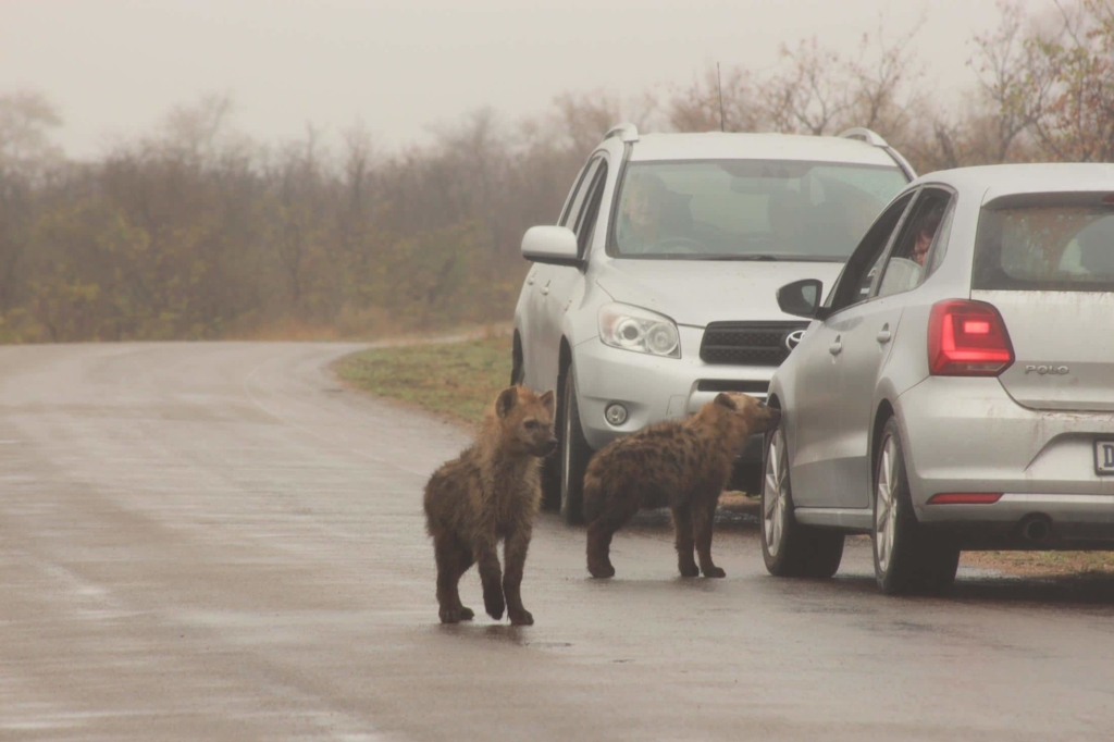 Wat is een game drive - Hyena's in Kruger National Park.