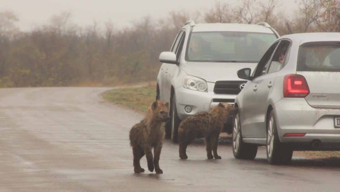 Kruger National Park - hyena's op de weg