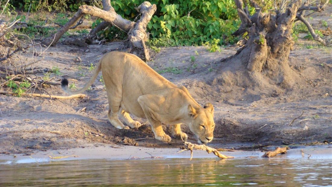 Chobe National Park - Leeuw drinkt water
