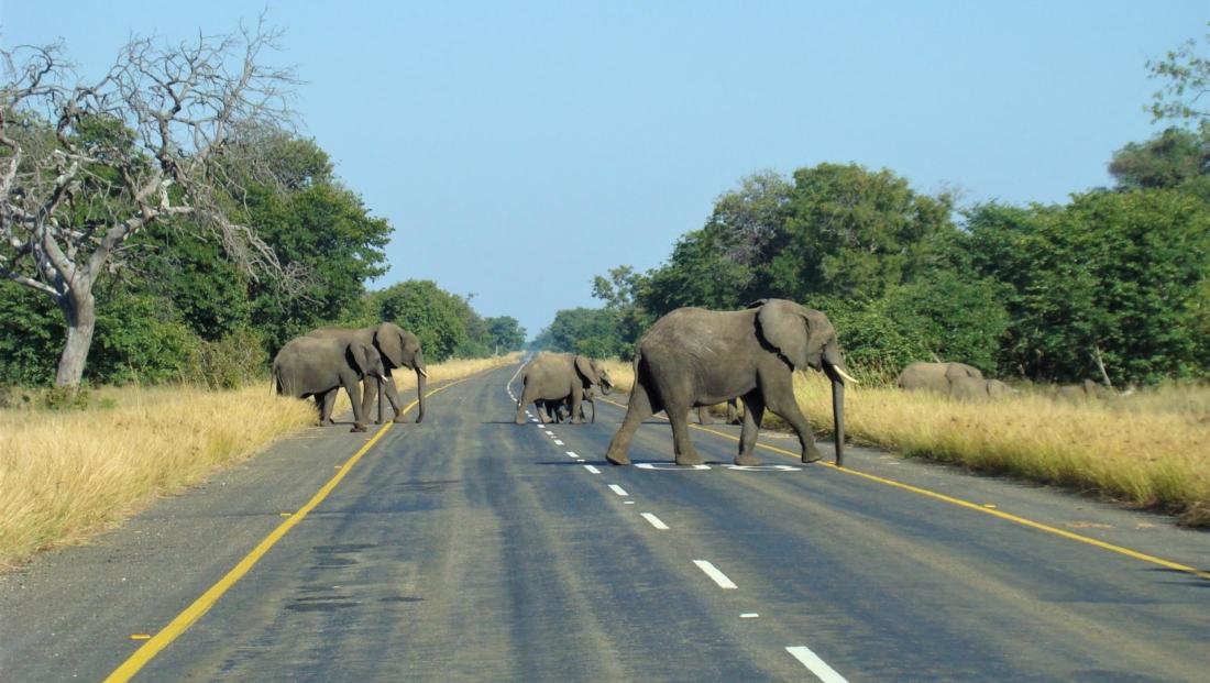 Chobe National Park - Olifanten steken de weg over