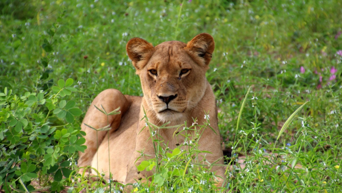 Chobe National Park - Leeuwin tussen de bloemen