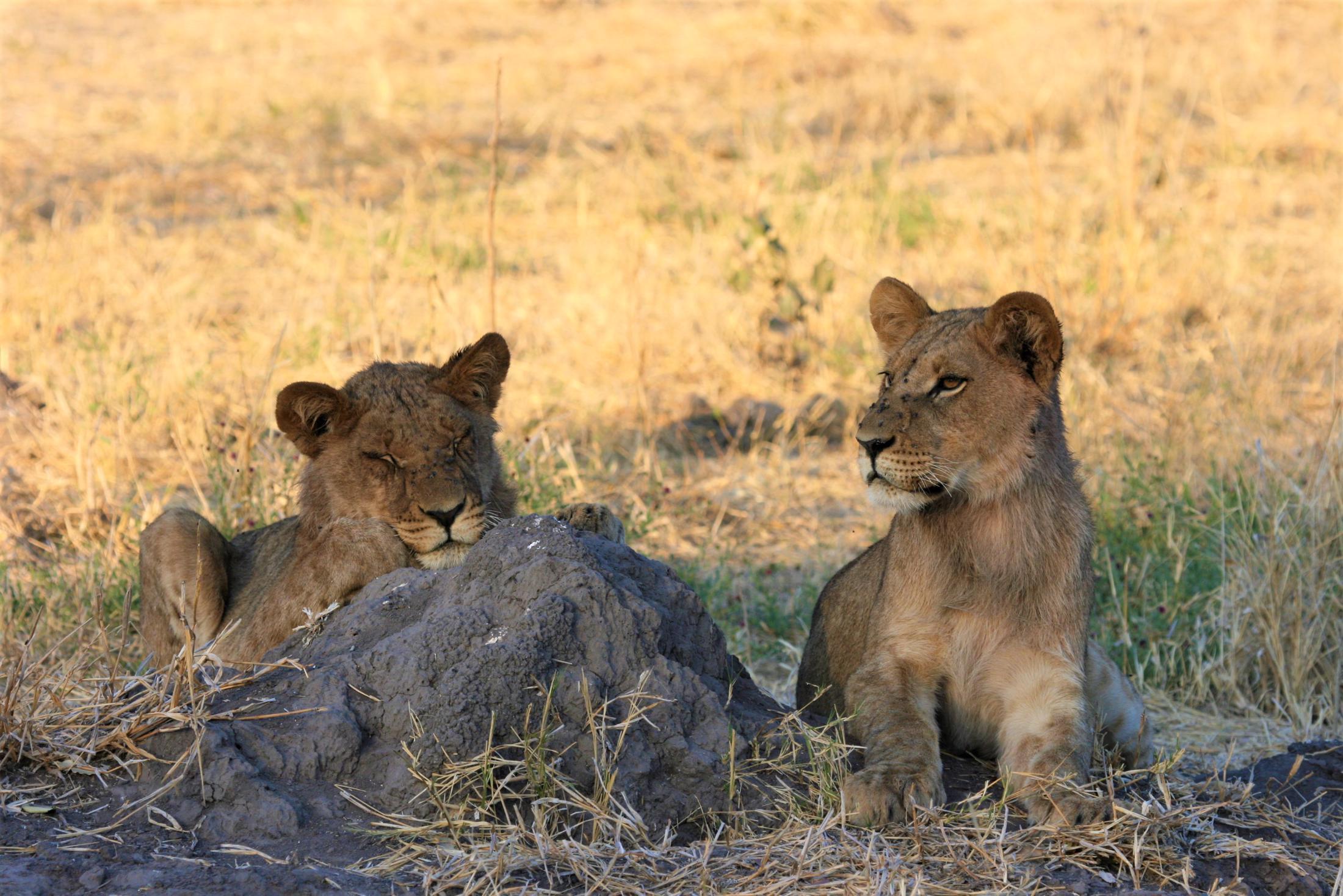 Chobe National Park - Twee jonge leeuwen