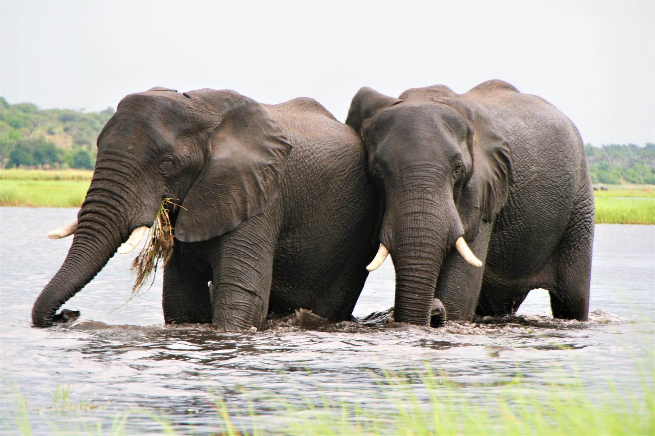 Chobe National Park - Twee olifanten in het water