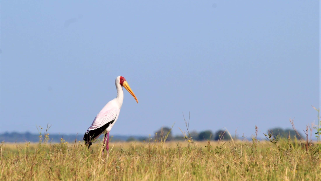 Chobe National Park - Yellow-billed Stork (nimmerzat)