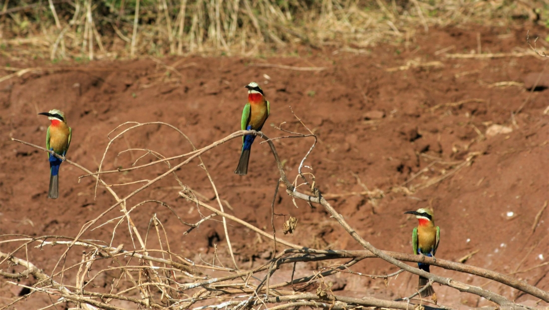 Chobe National Park - White-fronted bee-eaters (bijeneters)