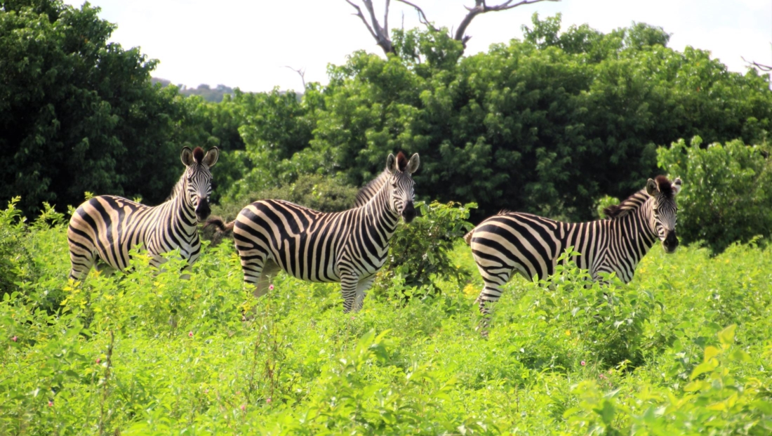 Chobe National Park - Zebra's in het groen