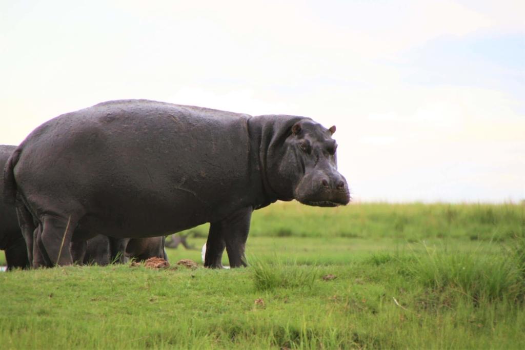 Nieuwsbrief Out in Africa - Dieren in het wild - Nijlpaard op het land