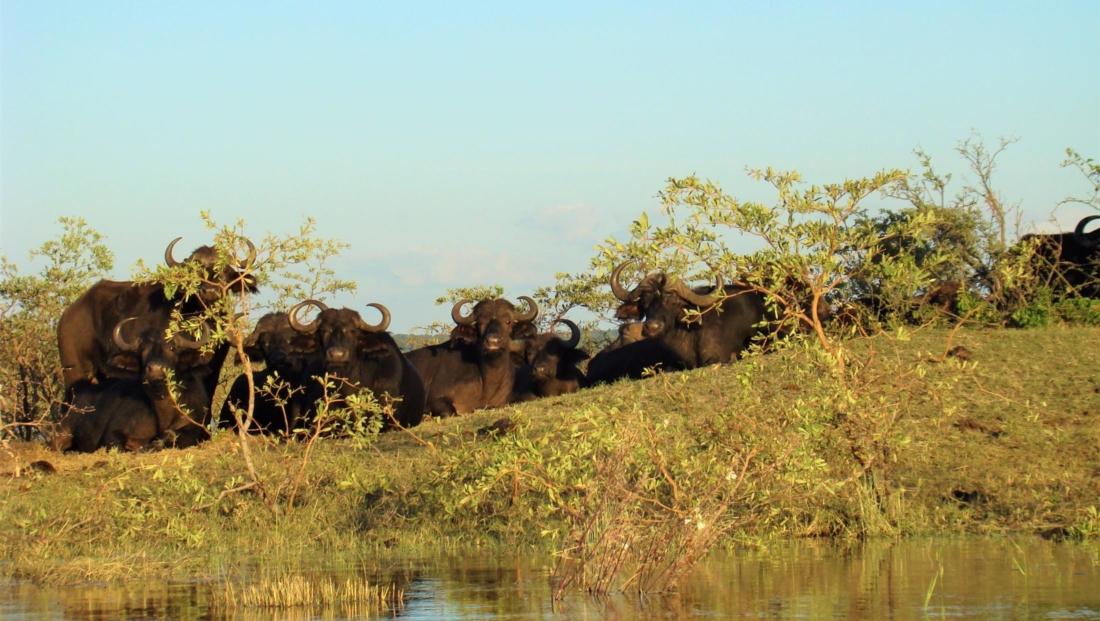 Chobe National Park - Groep buffels op de oever