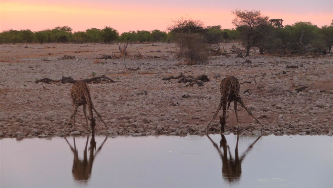 Etosha NP - Giraffen drinken samen bij zonsondergang