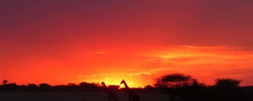 Etosha NP - Silhouetten giraffen bij zonsondergang