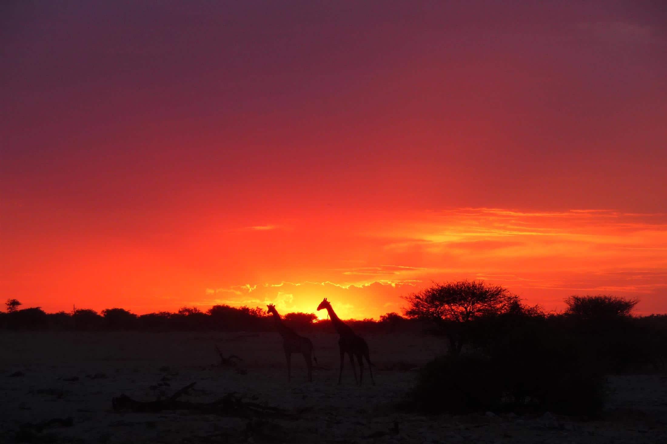 Familiereizen Afrika - Giraffen bij zonsondergang in Etosha NP, Namibië