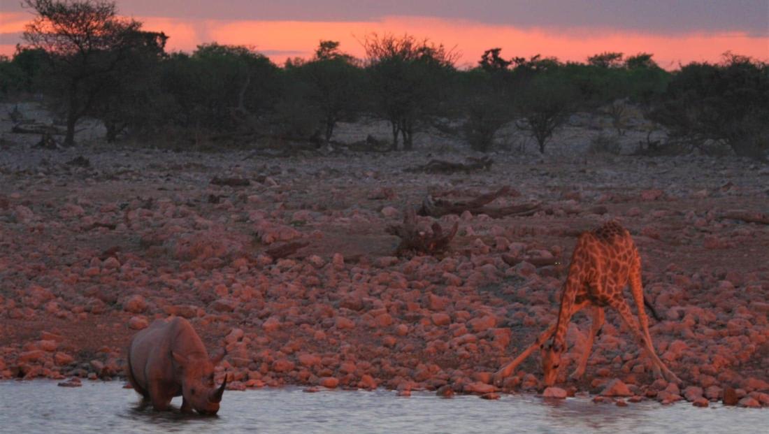 Etosha NP - Giraffe en zwarte neushoorn drinken samen