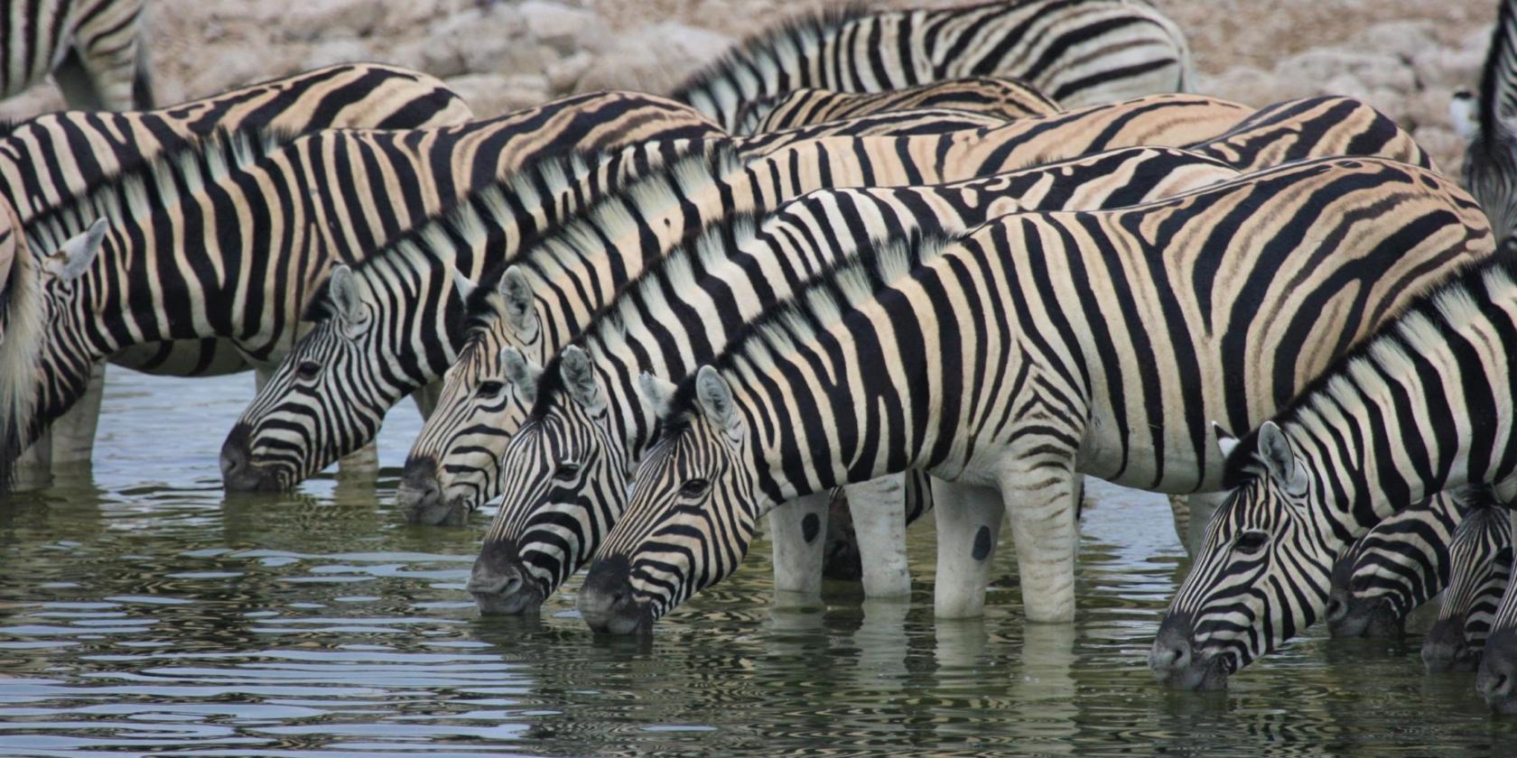 Etosha NP - Zebra's drinken water