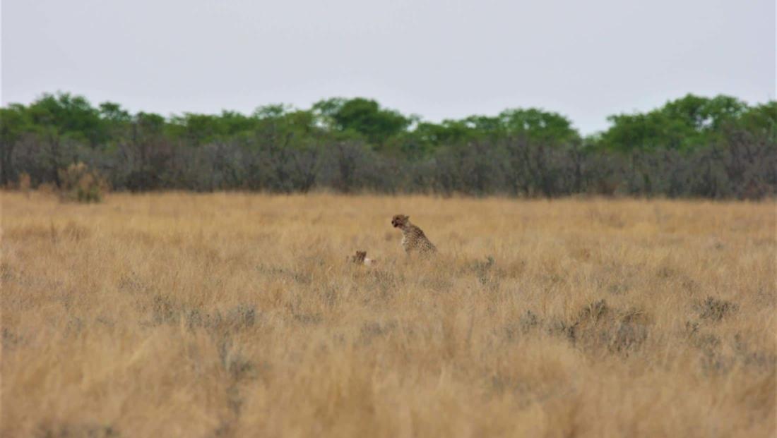 Etosha NP - Cheetah met welp in de verte