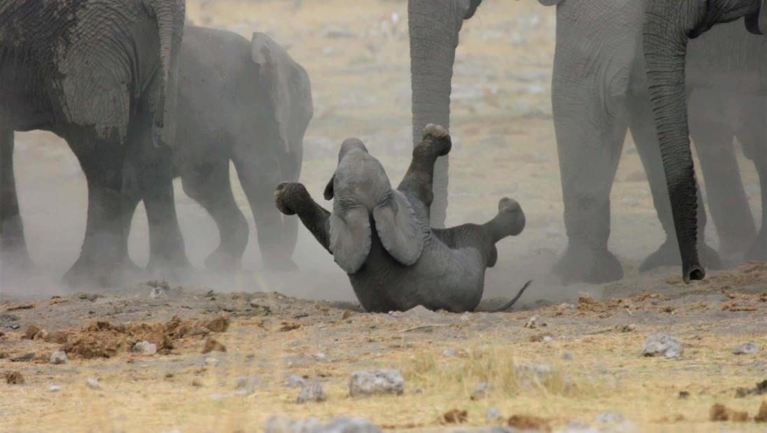 Etosha NP - Baby olifant speelt in het zand