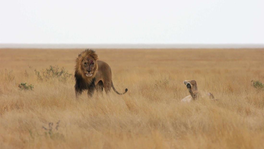Etosha NP - Leeuwen net na het paren