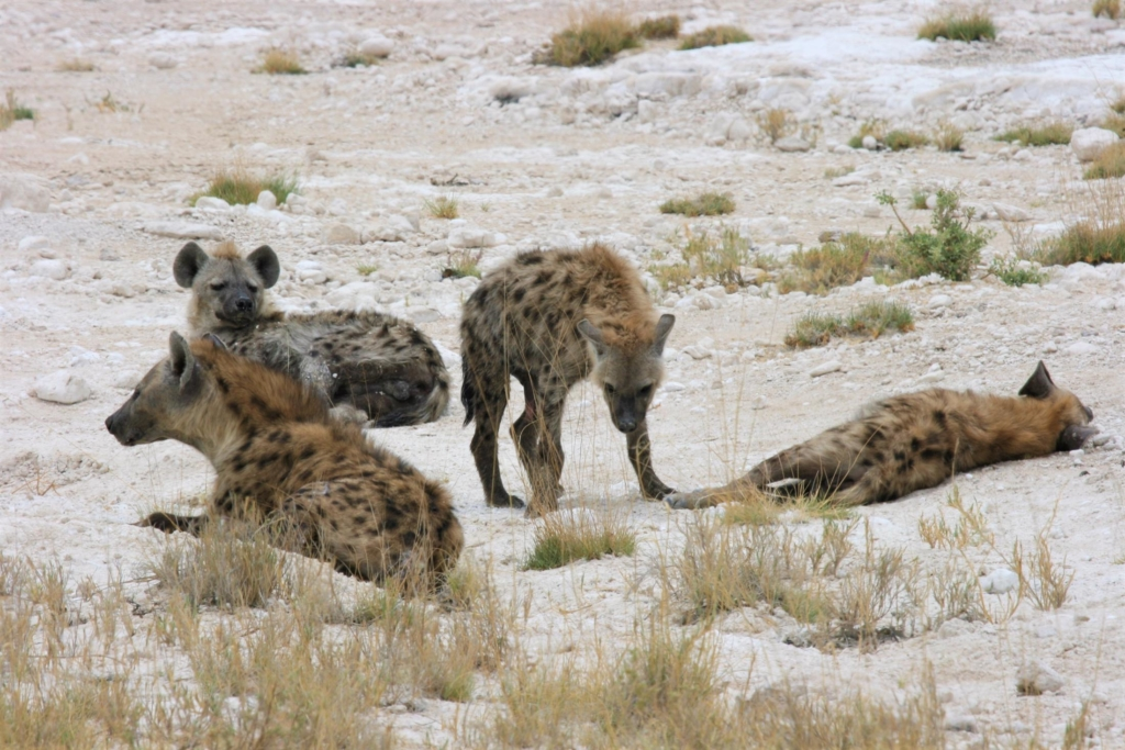 Etosha National Park - Hyena's