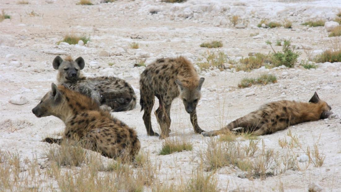 Etosha NP - Hyena's