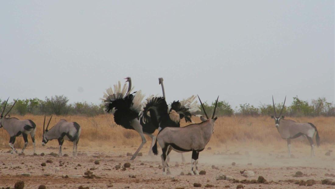 Etosha NP - Vechtende struisvogels