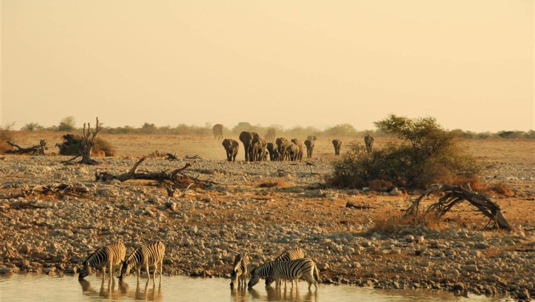 Etosha NP - Olifanten naderen de drinkplaats bij Okaukuejo