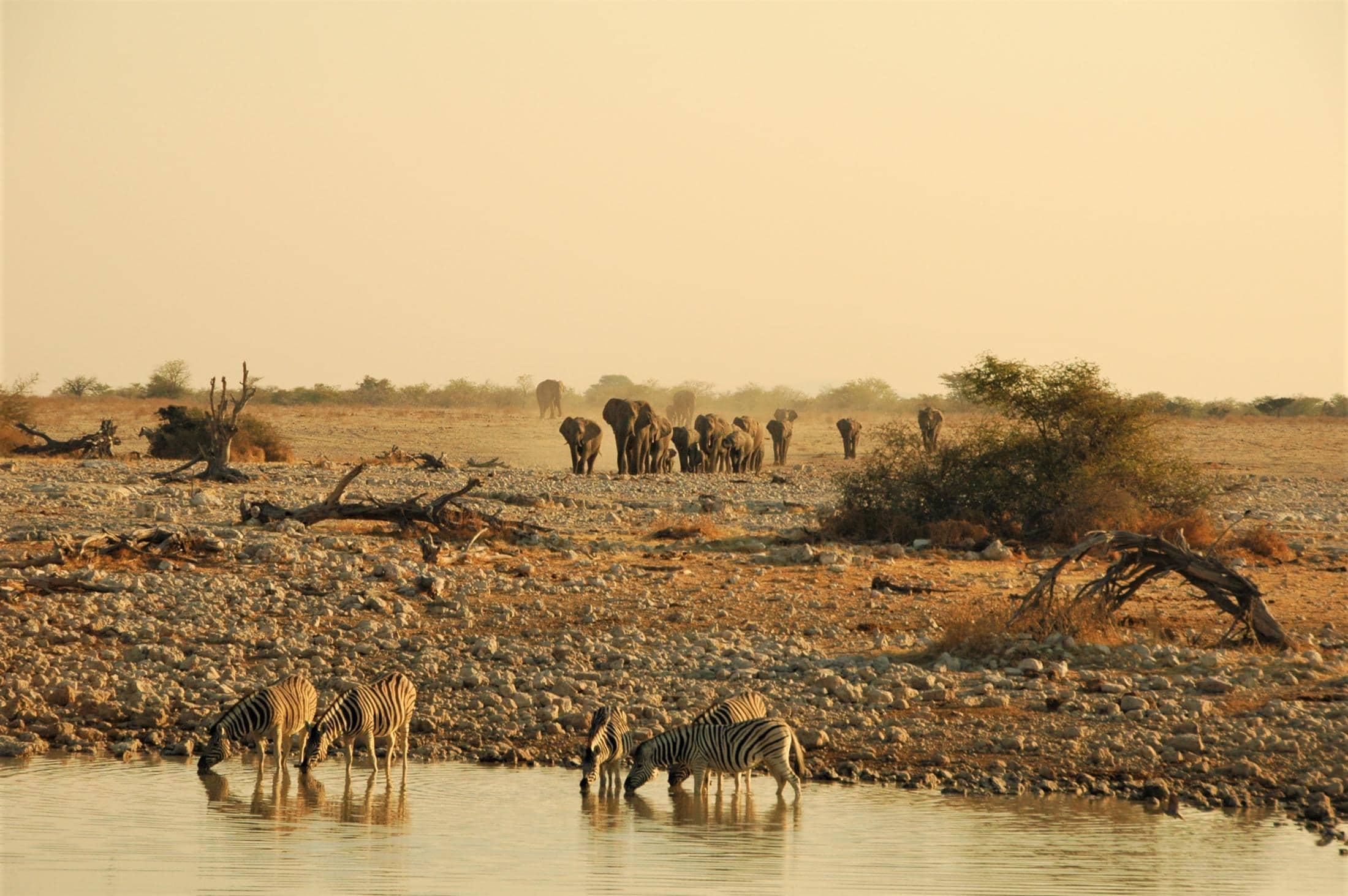 Laag-risico malaria - Olifanten naderen de drinkplaats bij Okaukuejo in Etosha National Park