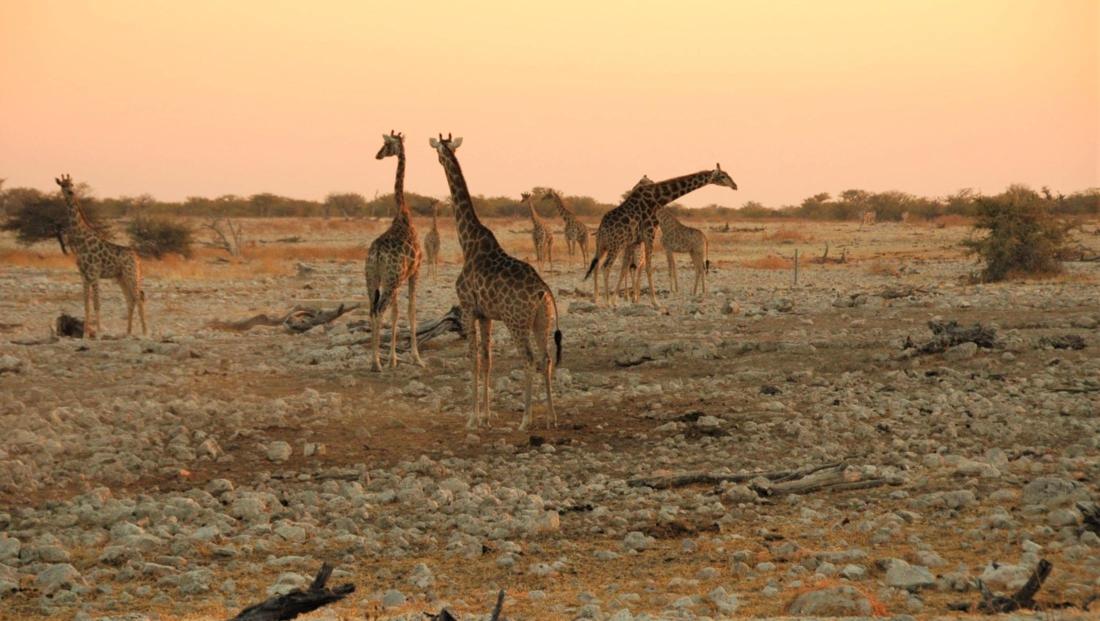 Etosha NP - Veel giraffen bij elkaar