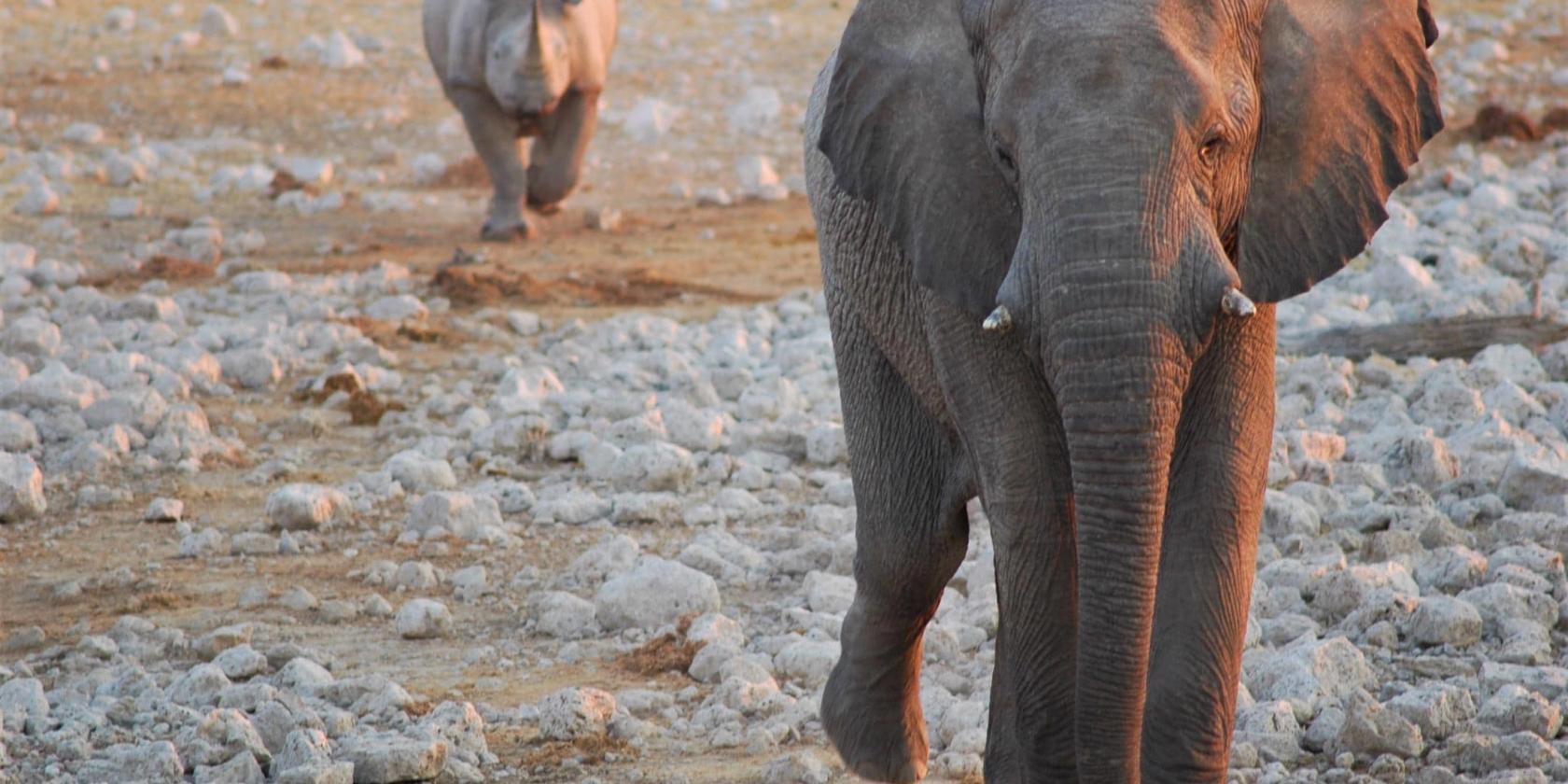 Etosha NP - Zwarte neushoorn volgt olifant