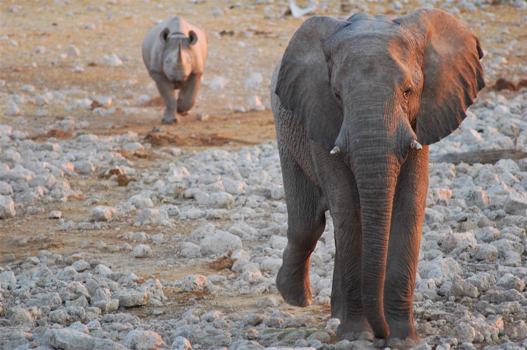 Rondreizen Zuid-Afrika, Namibië en Botswana - Zwarte neushoorn volgt olifant in Etosha National Park