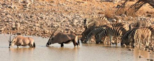 Etosha NP - Zebra's en gemsbokken drinken water