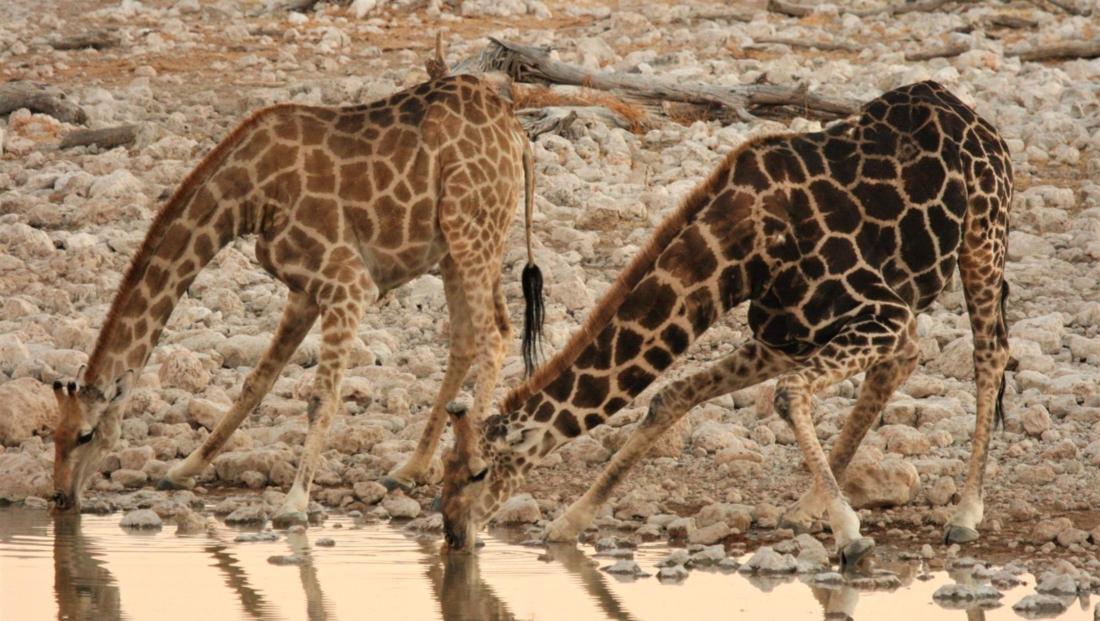 Etosha NP - Twee giraffen drinken samen water