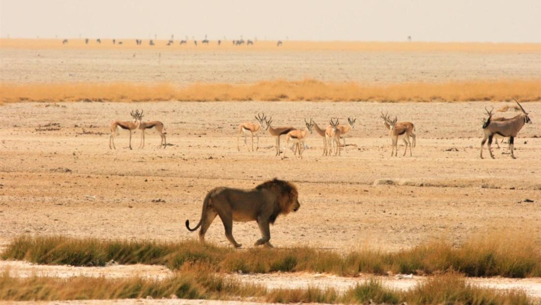 Etosha NP - Leeuw loopt over de vlaktes van Etosha met antilopen op de achtergrond