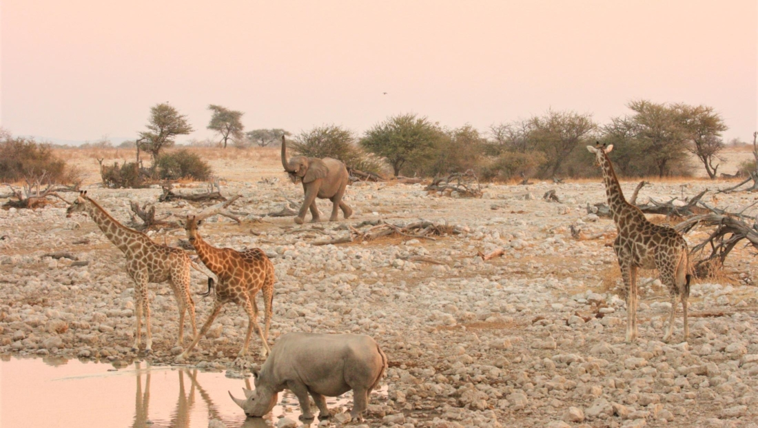 Etosha NP - Neushoorn, giraffen en olifant bij drinkplaats Okaukuejo