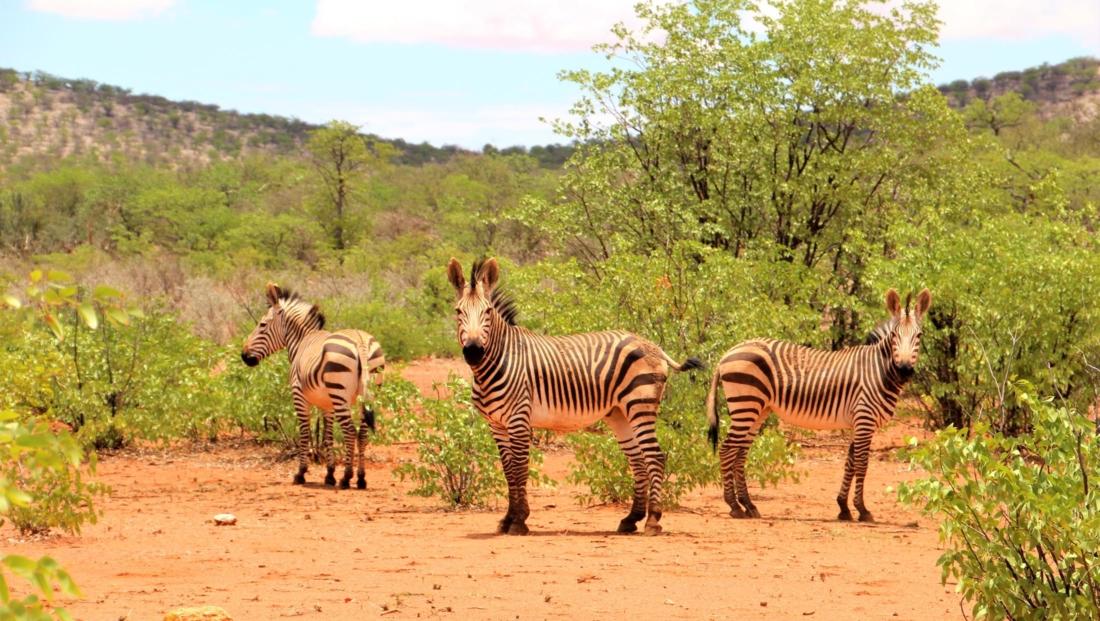 Etosha NP - Zebra's tussen de groene begroeiing in de zomer