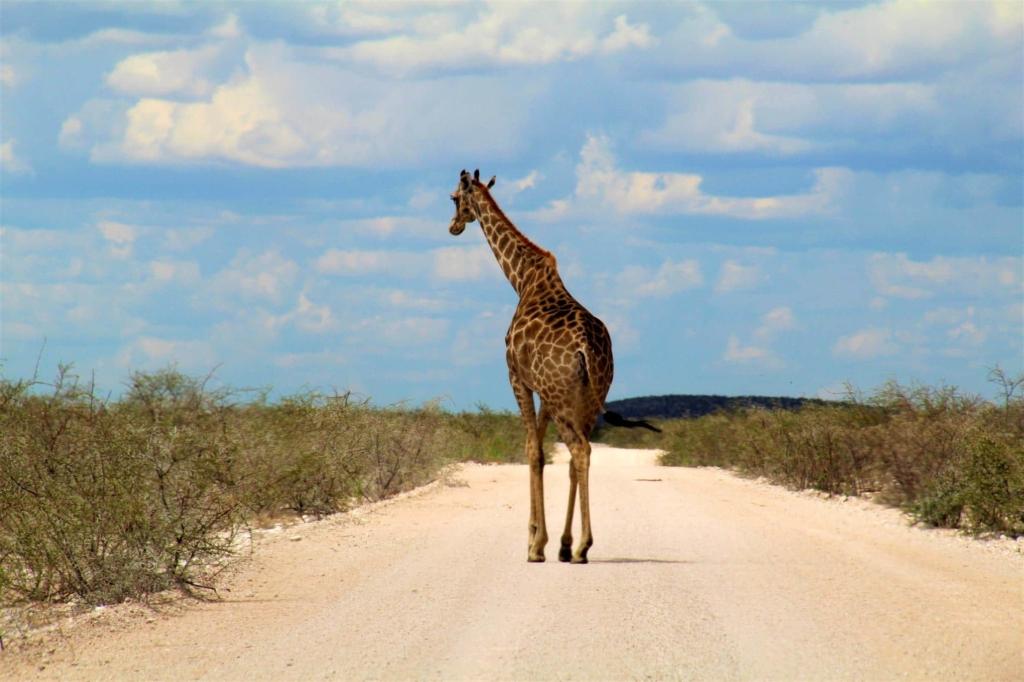Etosha National Park - Giraffe op de onverharde weg
