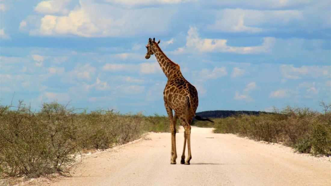 Etosha NP - Giraffe op de weg