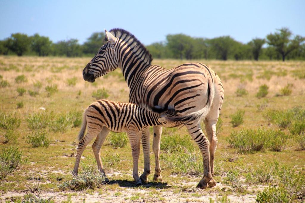 Etosha NP - Baby zebra drinkt melk bij moeder