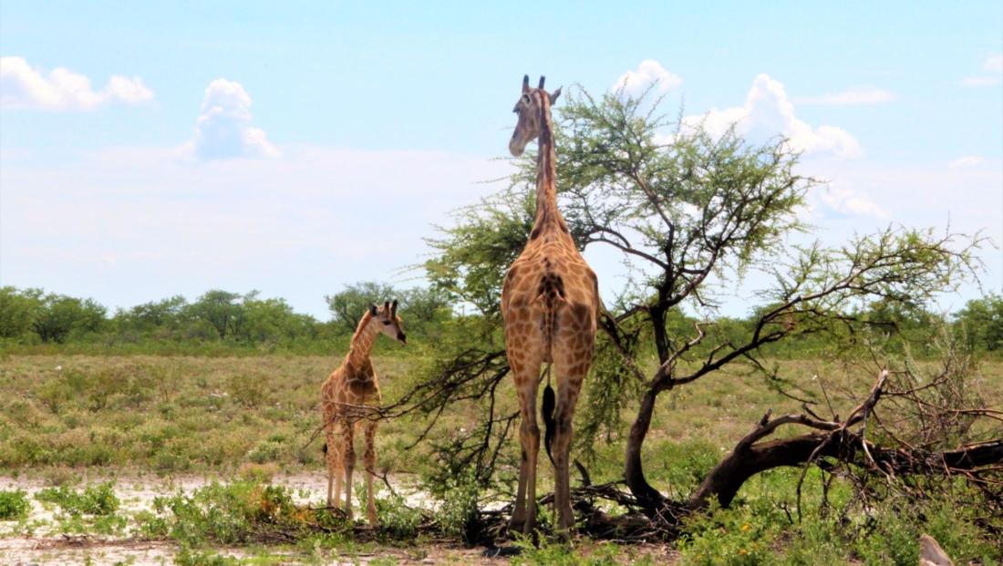 Etosha NP - Moeder en baby giraffe