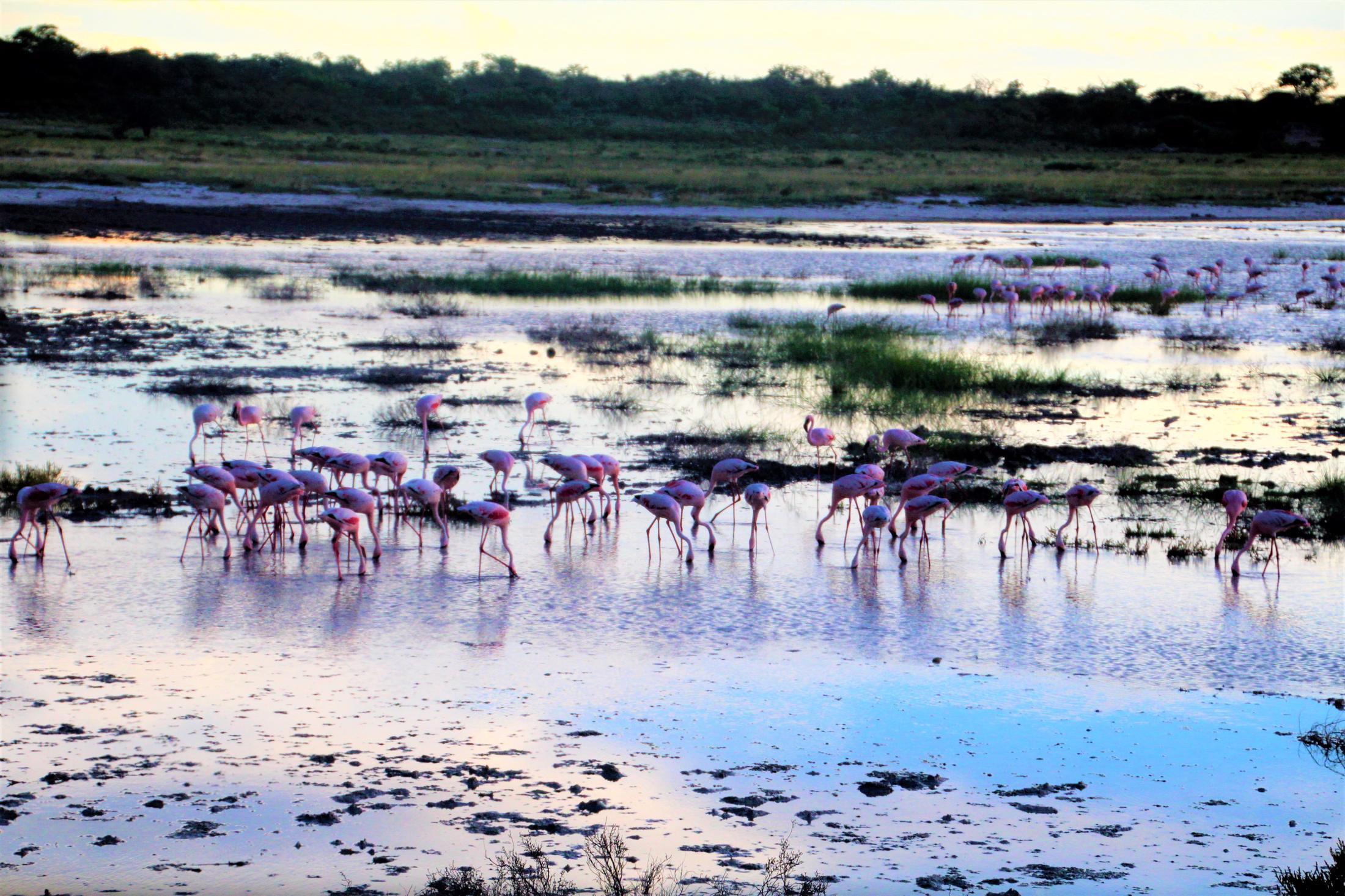 Etosha NP - Flamingo's in Etosha Pan