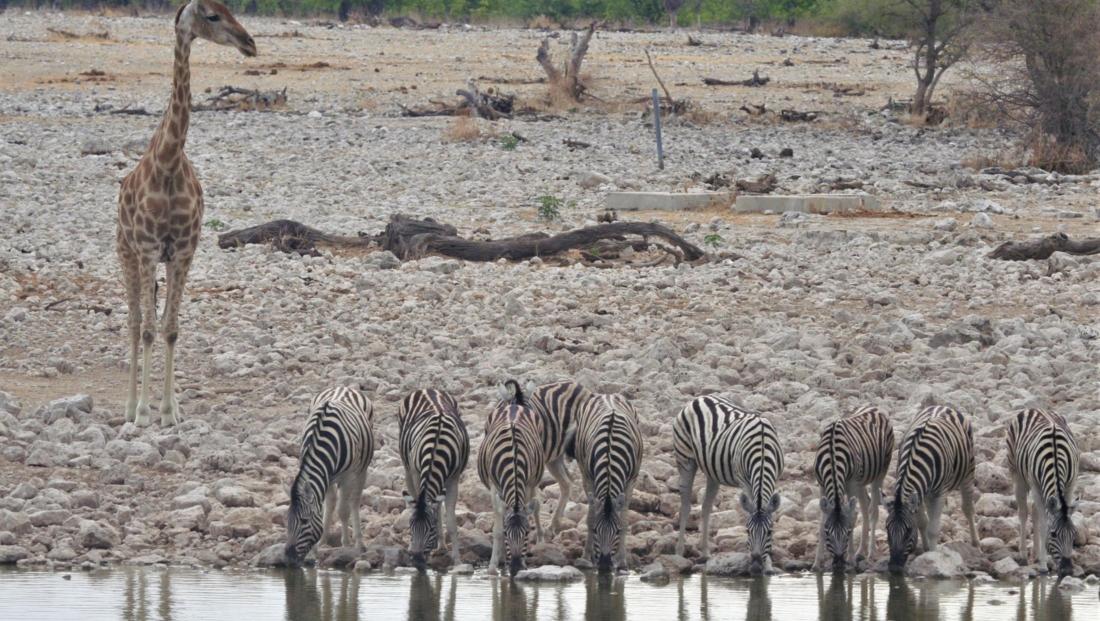 Etosha NP - Giraffe houdt drinkende zebra's in de gaten