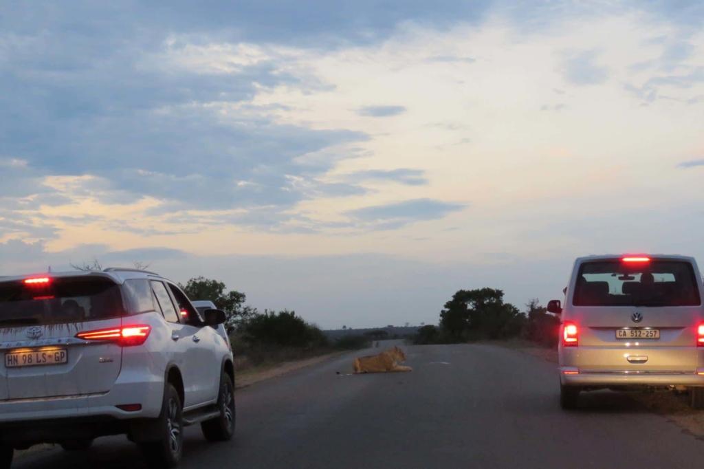 Must Sees Zuid-Afrika - Kruger National Park - Leeuw op de weg