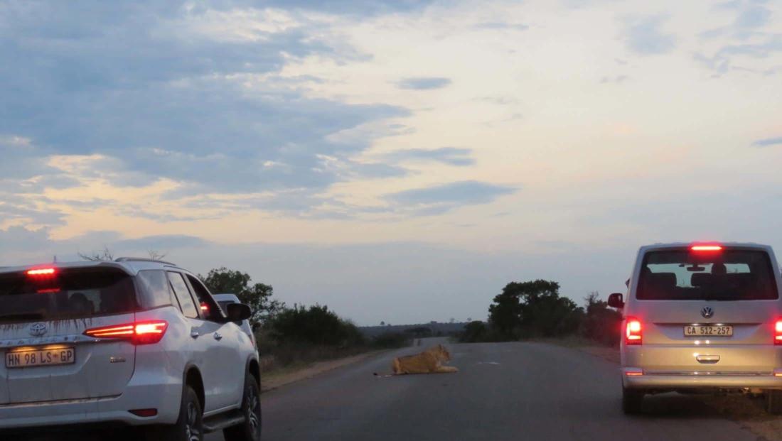 Kruger National Park - Leeuw op de weg