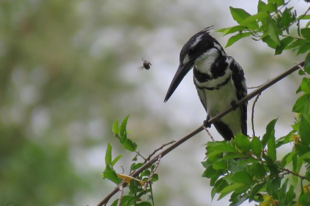 Kruger National Park - Pied kingfisher (ijsvogel)