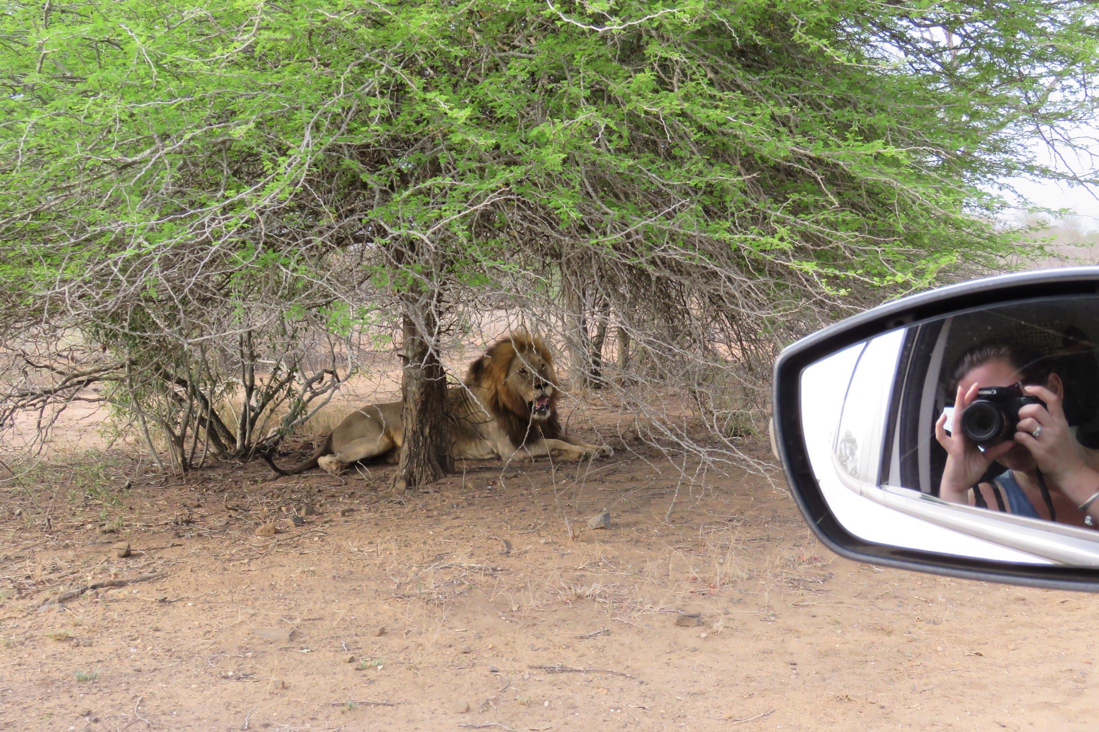 Individuele reizen Afrika - Krugerpark zelf rijden, leeuw naast de auto