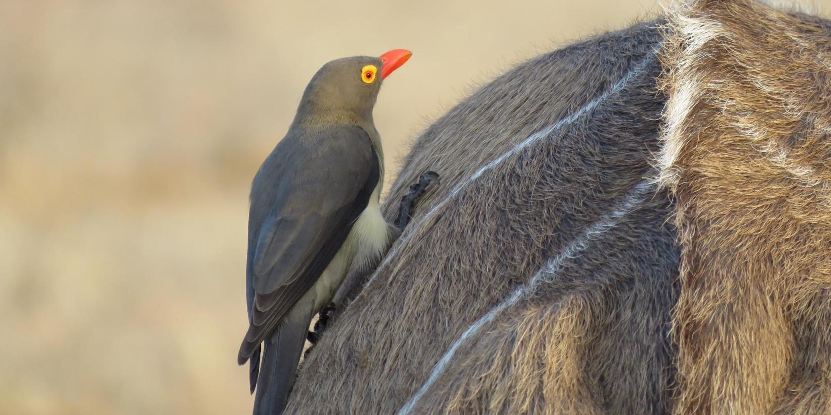 Kruger National Park - Oxpecker (ossenpikker) op de rug van kudu