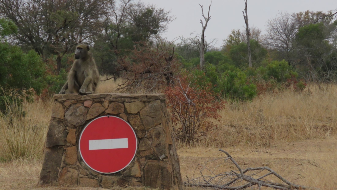 Kruger NP - Baviaan op geen toegang bord