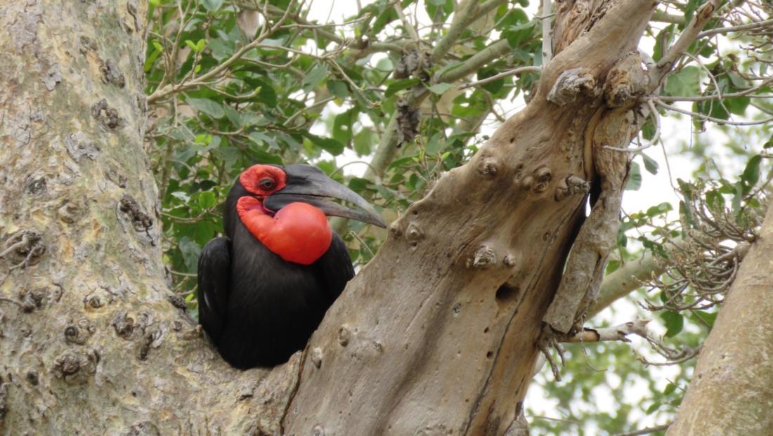 Kruger National Park - Ground hornbill in boom