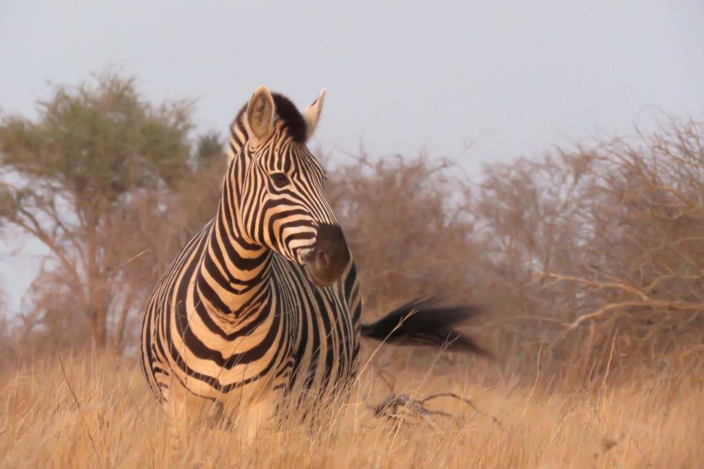 Bezienswaardigheden Zuid-Afrika - Kruger National Park - Zebra
