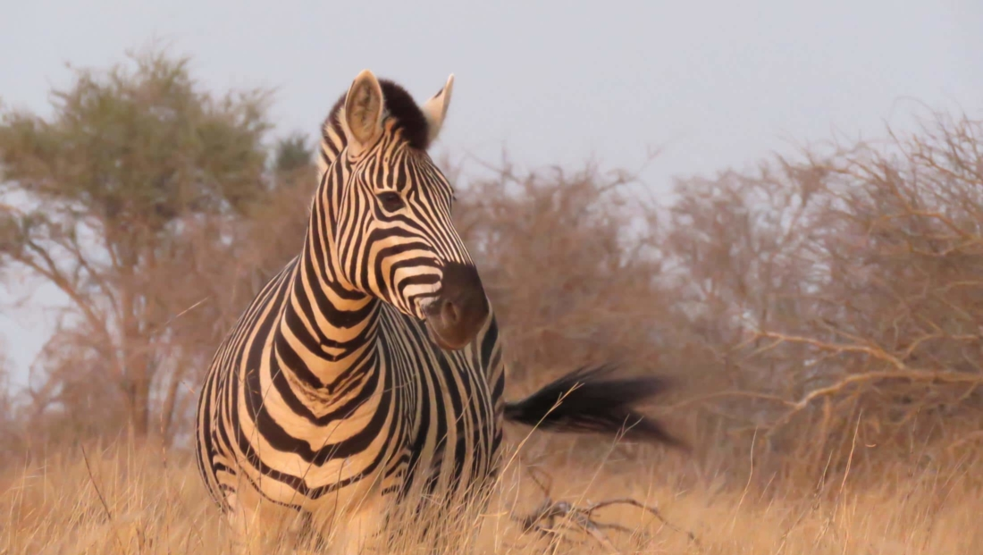 Kruger National Park - Zebra