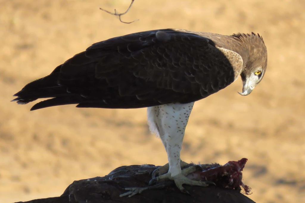 Kruger National Park - Martial eagle met prooi